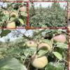 昭通苹果种植基地在哪#昭通三农苹果网=昭通昭阳苹果