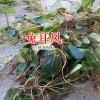 兔耳风(又叫大血筋草、水上红、心肺草、石风丹)的价格_哪里有兔耳风出售