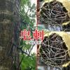 皂刺粉#皂角树刺价格-13887821570