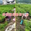 贵州刺梨种苗-贵龙刺梨种苗-刺梨种苗订购-刺梨种苗销售-刺梨种苗批发