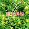 哪里买刺梨种苗?贵州刺梨种苗批发 安龙县鑫茂生物科技有限公司