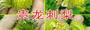 刺梨 贵州刺梨 西南刺梨批发 刺梨订购 一个月开始成熟