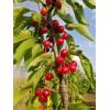 大樱桃苗上市时间-黔西南自治州大樱桃苗-大樱桃(车厘子)基地