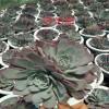 斗南哪里多肉多- 斗南花卉市场 怎么买多肉