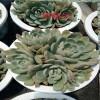 红梅整桩-多肉植物多少钱一棵?-18788196071