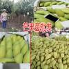 芒果苗批发|芒果苗一般多少钱一棵 |TEL:13457726806