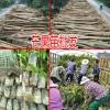 广西芒果实生哪里有&芒果实生苗多少一株&芒果树哪里低价