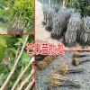 |桂七芒果苗|优质桂七芒果苗|广西芒果苗基地价格13457726806