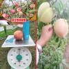 丽江雪桃_丽江雪桃礼盒装图片-13628887835