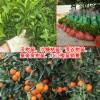 沃柑苗,沙糖橘苗,茂谷柑苗,皇帝贡柑苗,红江橙苗多少钱一棵?