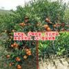 2018皇帝贡柑苗,红江橙苗多少钱一棵?