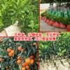 柑桔苗今日均价多少钱?TEL:13457726806