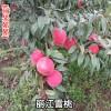 哪里有丽江雪桃王种苗|丽江雪桃苗多少钱一棵?|冬雪王桃种苗哪里有