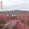 2018嫁接桃树苗(丽江雪桃)_国宴用的雪桃树苗