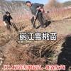 丽江雪桃种苗栽植株行距要求_丽江雪桃种苗种植资料大全