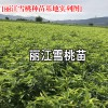 丽江雪桃种苗价格- 丽江雪桃种苗种植资料大全