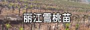 丽江雪桃种苗种植资料大全-13628887835