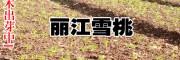 丽江雪桃苗单价从4-15元每株_丽江雪桃苗厂家报价中心