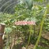 滇重楼种子苗床播种-滇重楼种子繁殖和根茎繁殖两种方法