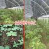 2018云南重楼种苗种子图片-滇重楼种苗种子