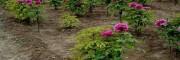 白芍幼苗几份种?