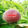 2018以色列早红桃怎么样_云南哪里有以色列早红桃卖