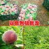云南以色列早红桃苗多少钱一棵?