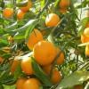 云南哪里有早上市柑桔_哪里柑桔早上市多少天?