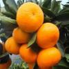 云南宫本柑桔品种-宫本柑桔新品种