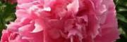 荷泽观赏芍药价格-越大牡丹花苗的价格就会越便宜