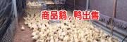 云南大理火鸭养殖场-大理哪里有火鸭苗卖出