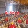 生态商品鹅鸭养殖基地_大理鹅苗哪里出售-大理鹅鸭苗养殖基地