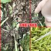 陕西,云南20-30cm白芨苗报价-18208899280