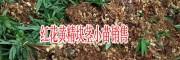 红花黄精块茎苗子图片(附种植技术)