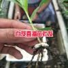 白芨直播肓苗技术_白芨直播苗一亩需要多少种苗?