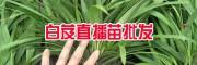 云南白芨一亩地载(种)多少苗