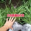 哪里有20-30cm三叉白芨苗_产地云南白芨种苗
