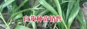 云南曲靖种白芨.咨询_云南曲靖有白芨种吗?