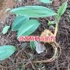 曲靖黄精根茎种苗繁殖方法-13887473520
