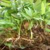 黄精种植如何合理追肥_曲靖黄精种苗培育基地