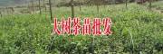 茶叶树苗多少钱一棵?大树茶叶苗价格