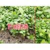 大树茶苗种植技术方法-13759397820