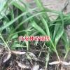 求购紫花三叉白及的找_ 白及种苗价格为1-2元/