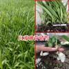 云南省紫花三叉白及种苗走势动态价格
