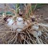 真正三叉白芨种苗图片_供应优质云南白芨小苗厂家