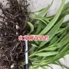 适合保山种植的白芨苗-紫花三叉白芨批发