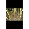 阳春砂仁种子,砂仁种子,新品种阳春砂仁种子,砂仁苗,砂仁