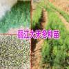 天冬苗种植方法-云南丽江天冬苗信息(免费技术指导)