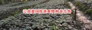 云南中药材种植有限公司