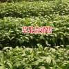 林下生态草果种植寻战略合作伙伴13577677236